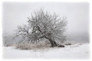 white-apple-tree-b
